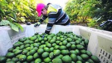 Exportaciones peruanas de palta crecerían 20% en volumen y 30% en valor este año