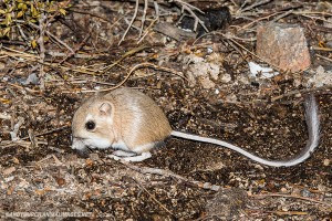 merriams-kangaroo-rat-027