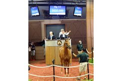 The Not This Time colt consigned as Hip 213 in the ring at the Fasig-Tipton Midlantic Sale