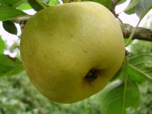 Ashmead's Kernel - originated  Gloucestershire 1700. Pick Oct. ripens in Dec keeps until March