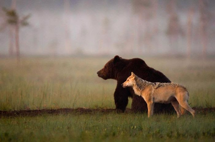 A Rare Friendship Developed Between A Gray Wolf And Brown Bear
