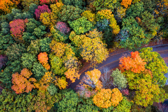 Forest displaying vibrant fall color of yellow, orange and red