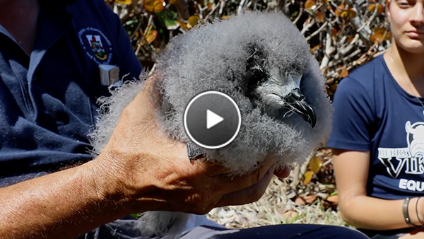 Watch The Cahow Chick Get Banded During A Health Check.