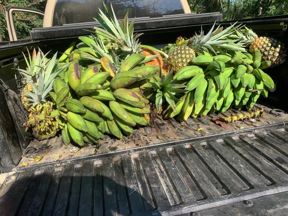 Back of a pickup truck filled with bananas and pineapples