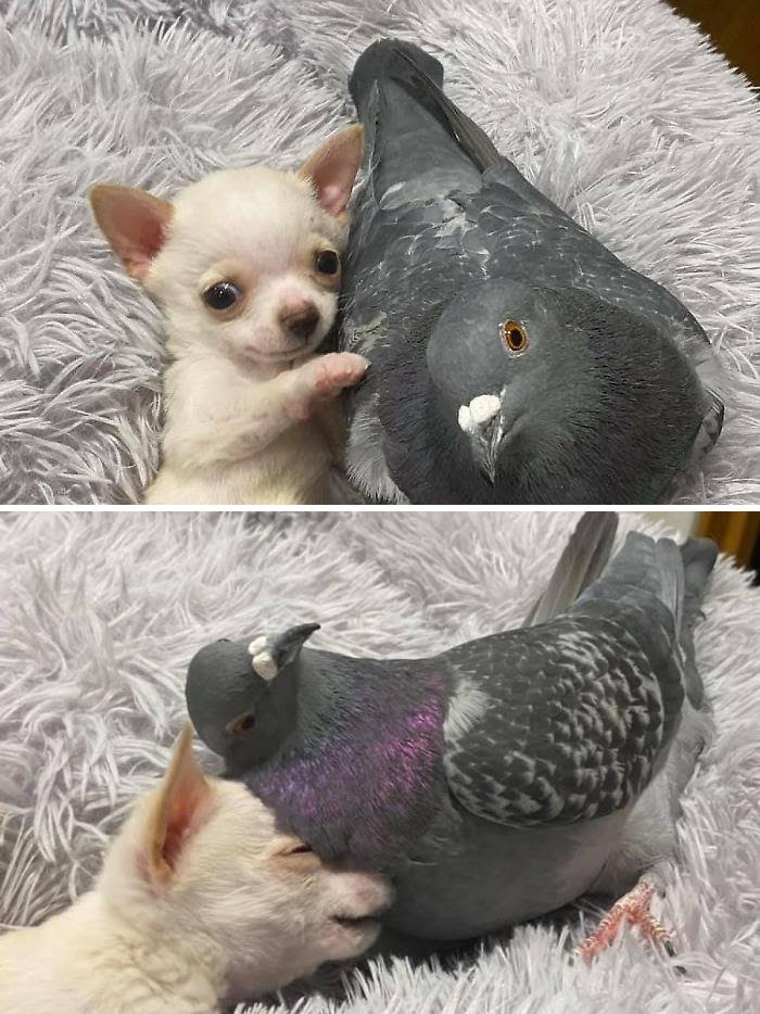 Meet Herman, The Flightless Pigeon And His Best Friend Lundy, The Chihuahua Who Can't Walk