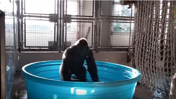 VIDEO. Ce gorille s'éclate dans une piscine