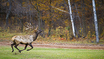 A bull elk is shown from the Pigeon River Country in the northern Lower Peninsula.