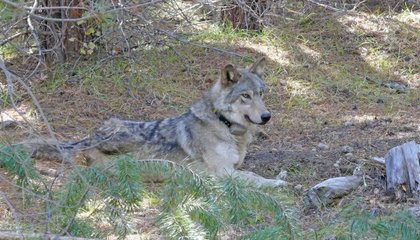 After an 8,700-Mile Journey, an Endangered Gray Wolf Is Found Dead image
