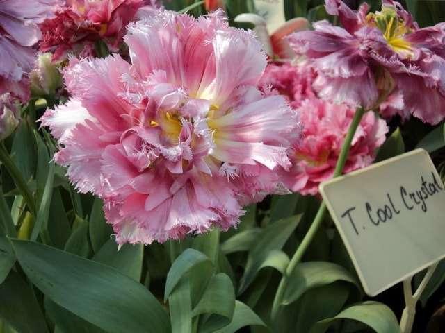 тюльпаны фото розовые