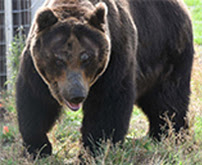 How four endangered bears travelled 9,000KM to their new home