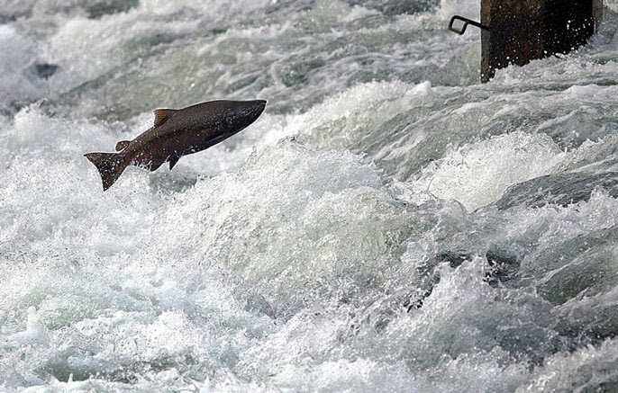 Nearly Half of California's Native Salmon, Steelhead and Trout on Track to Be Extinct Within 50 Years