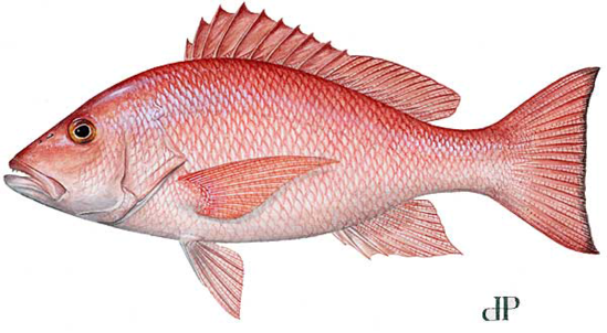 NOAA Fisheries Announces Limited Openings of Recreational and Commercial Red Snapper Seasons in South Atlantic Federal Waters
