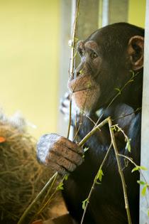 Chimpansee Marria bij AAP
