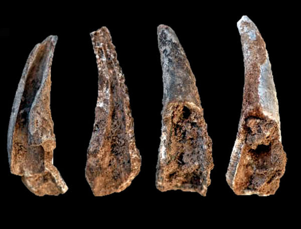 A view of four pincer fragments from crabs