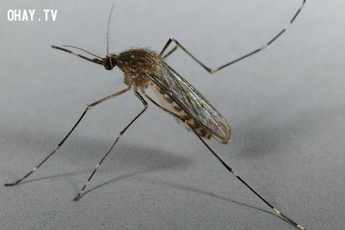 ảnh muỗi,truyền nhiễm,bệnh chết người