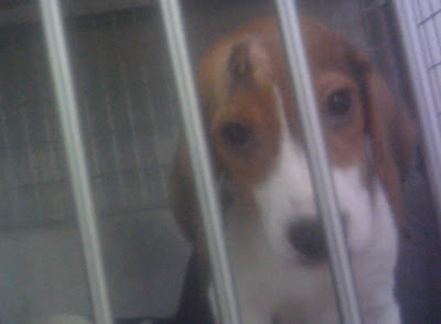 Beagle in lab cage