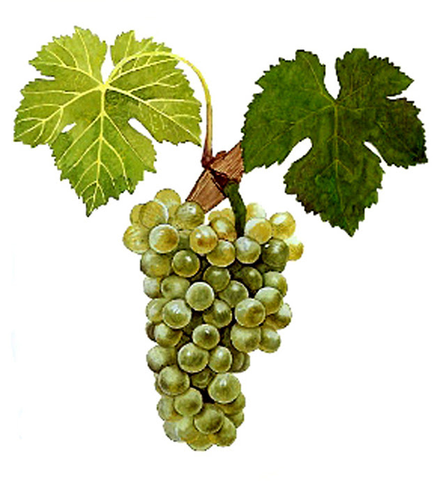 Image result for viognier grape