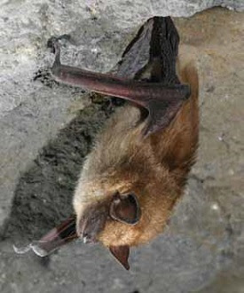 bat hanging upside down in cave