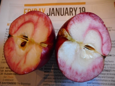 Red Devil apple cut in half Jan 19th