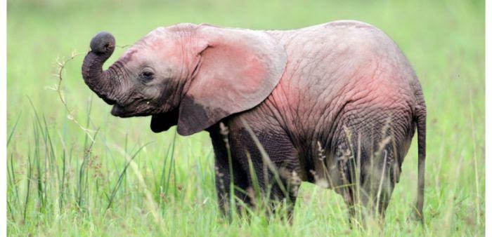 L'éléphant coloré photographié au parc Krueger.