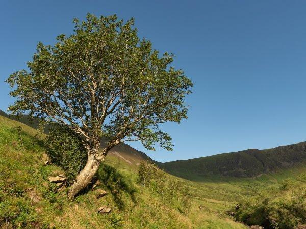 El serbal del valle de Carrifran en Moffet, Escocia, ya no está solitario gracias a la campaña de reforestación que animó hace dos décadas.