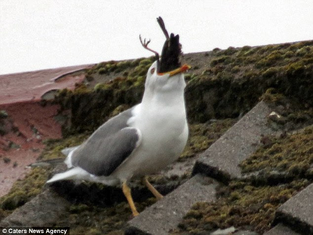 This is the gruesome moment a 'misunderstood' seagull was spotted swallowing a starling whole after attacking it on a roof
