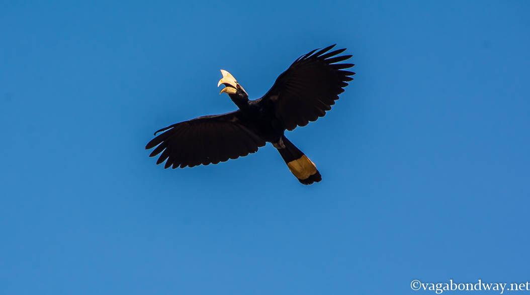 hornbill-kinabatangan-borneo-malaysia