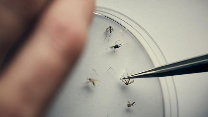 Des drones et des moustiques