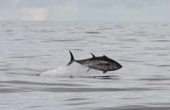 w640_760755_marinebluefintunaleapingfish