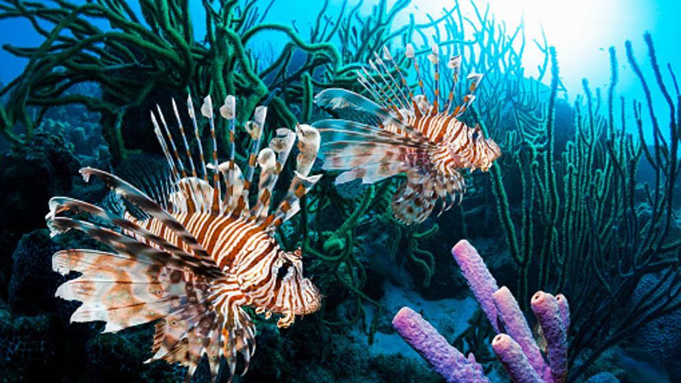 El agresivo y venenoso pez león acelera la invasión del Mediterráneo