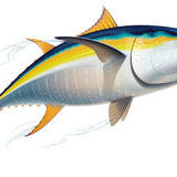 Atum albacora