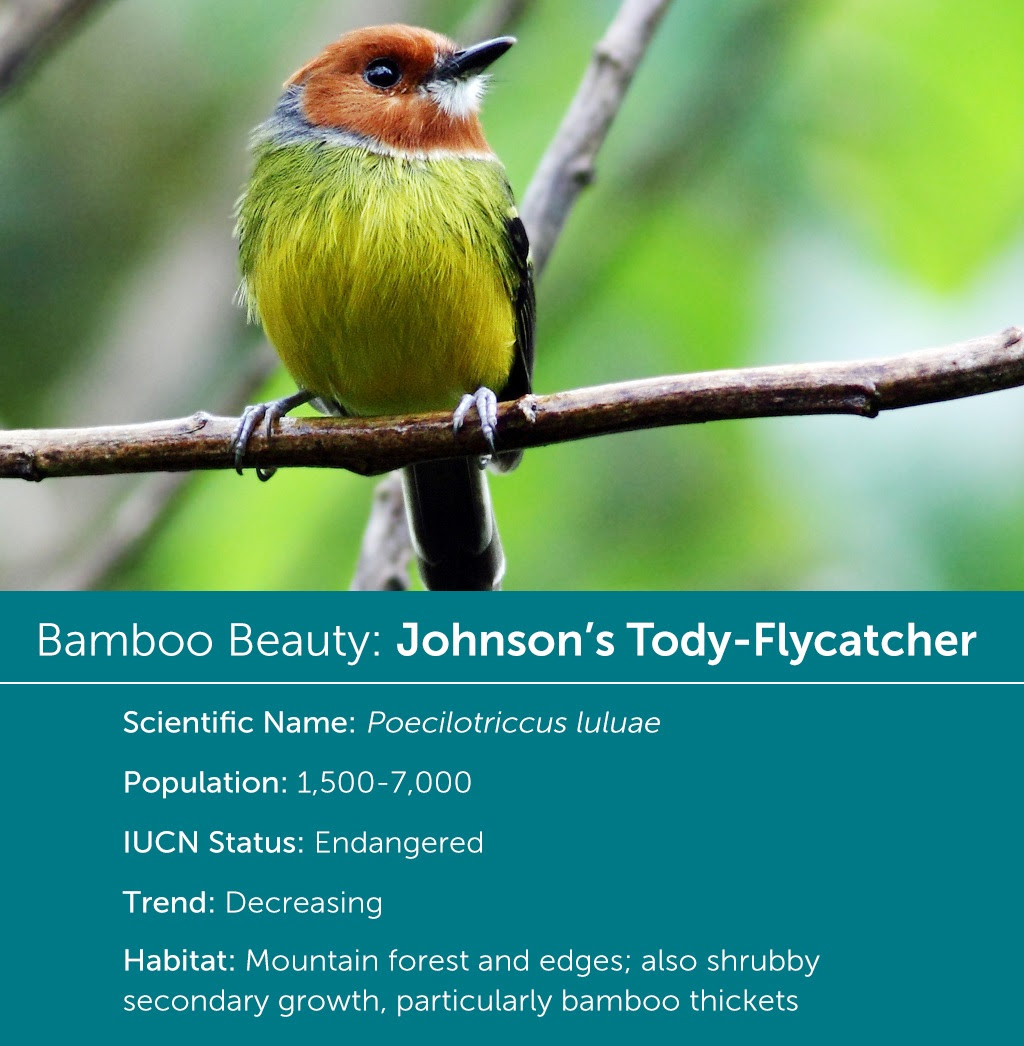 Johnson's Tody-Flycatcher, Jean Paul Perret