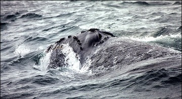 North Pacific Right Whale A. Kennedy