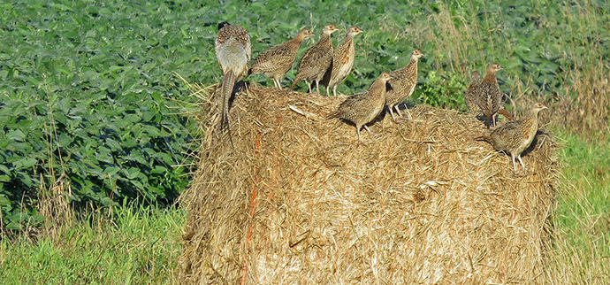 pheasant brood