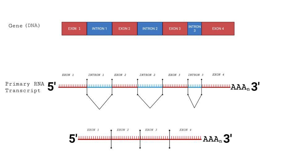 Splicing of cellular messenger RNAs.