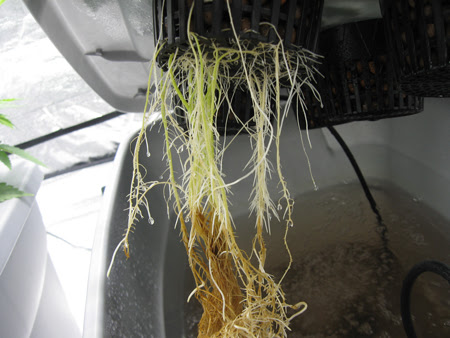 Root Rot attacking some unsuspecting roots!
