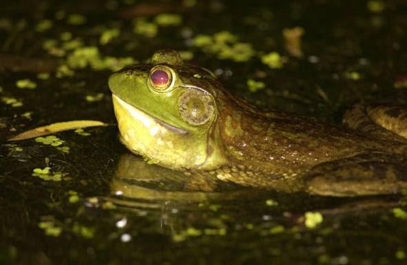 Missouri outdoors frogging season begins june 30 at sunset for Missouri fishing license age