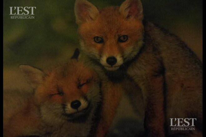 La vie du renard à travers la photo.  Photo DR NON RENSEIGNEE De beaux regards pour ces petites boules de poils.