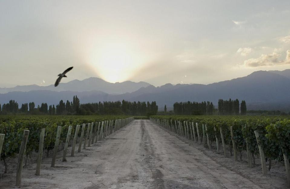 The Moet Hennessy Cheval de Los Andes vineyards in Mendoza.