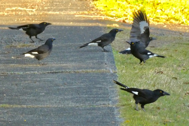 Currawongs.jpeg