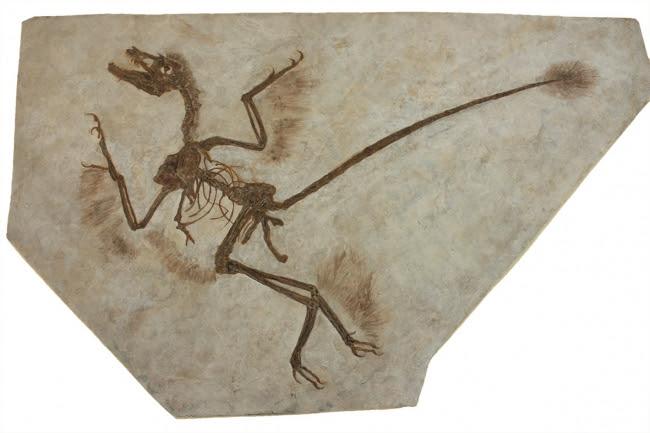 貴重な羽毛の残る恐竜化石(ミクロラプトル)
