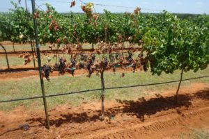 Texas vineyard suffering from cotton root rot. (Texas A&M AgriLife Research photo)