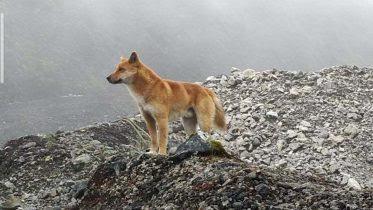 Highland Wild Dog