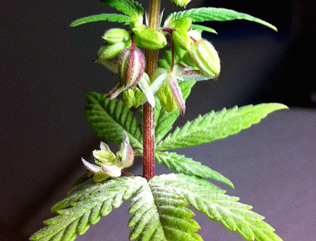 The pollen from a hermie plant makes feminized seeds