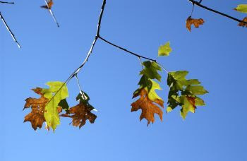 Leaves of a tree suffering from oak wilt are partly green and partly brown.