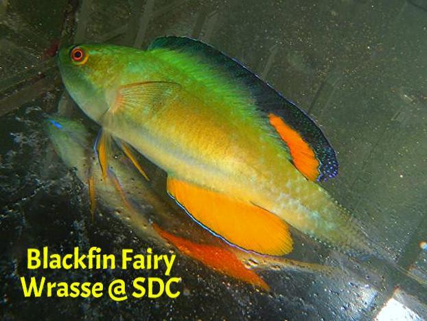 black fin fairy wrasse male