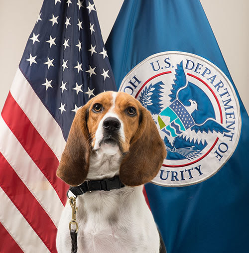 """Beagle Brigade"" member Hardy's official photo. (Photo credit: Department of Homeland Security's U.S. Customs and Border Protection)"