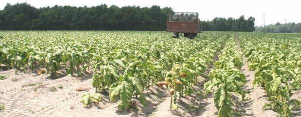 Is a bitter pill waiting for flue-cured growers? Excess production could result in lower returns. Harvest--as in this file photo of a field near Salemburg, N.C.--is well under way.