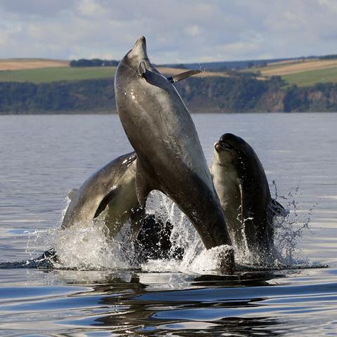 Wild dolphins leaping