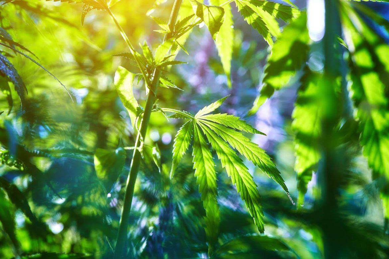 cannabis-recreativa-proyecto-ley-hundido-marihuana-catalina-gil-1170x780